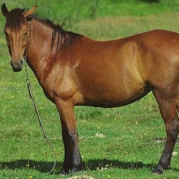 Häst och trikin